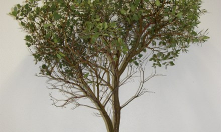 Beautiful Manzanita Branches With or Without Leaves