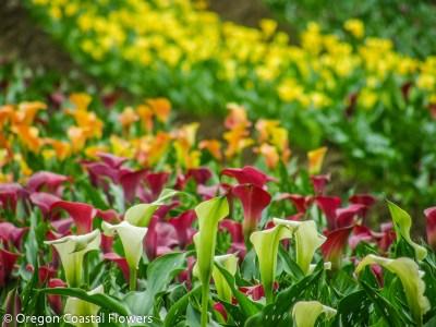 American Grown Calla Lilies