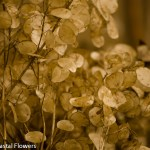Lunaria Branches