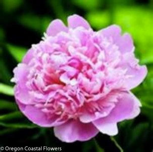Medium Pink Peony Wedding Flowers