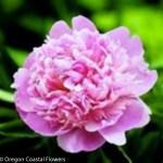 Medium Pink Peony Wedding Flowers