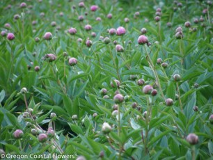 Oregon Grown Pink Peony Flowers
