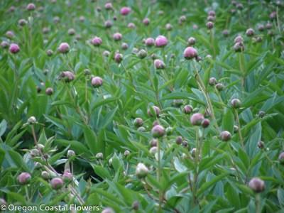 Oregon Grown Pink Peony Flowers
