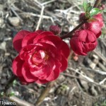 Red Quince Bloom