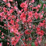 Salmon Flowering Quince Branch