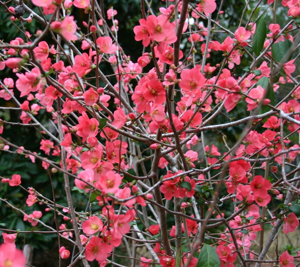 Salmon Flowering Quince Branch | Oregon Coastal Flowers