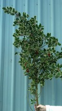 Variegated Holly Branches