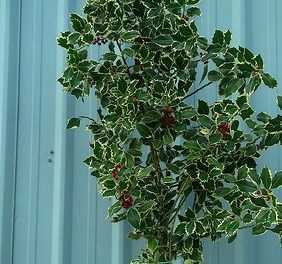 12.12.20 Holly Branches with Red Berries, Varigated and Green Holly