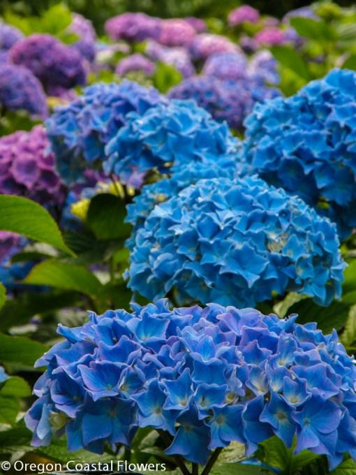 Vivid Blue Fresh Hydrangea Flowers