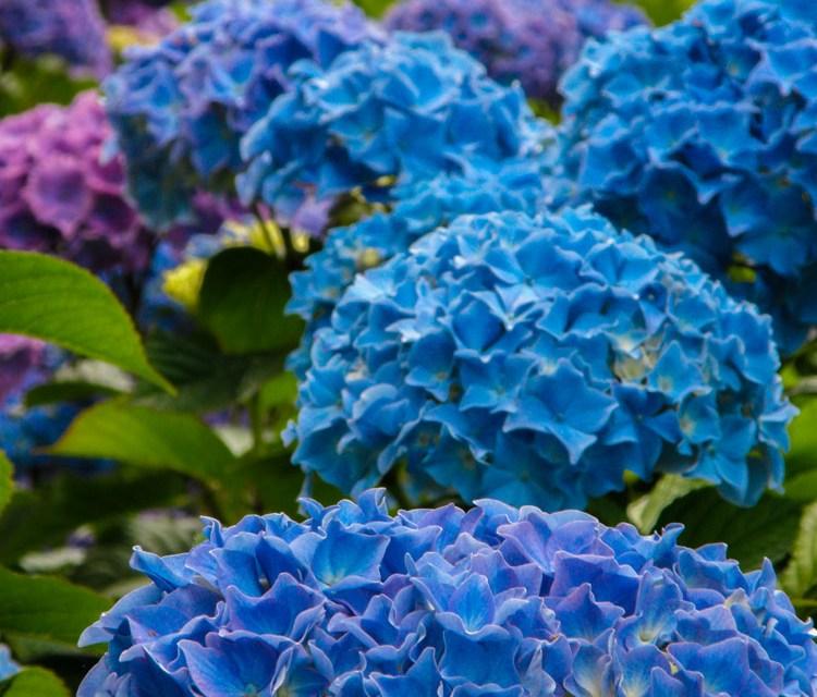 7.07.19 Blue & White Hydrangea Fresh Cut Flowers