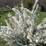 White Blooming Spirea