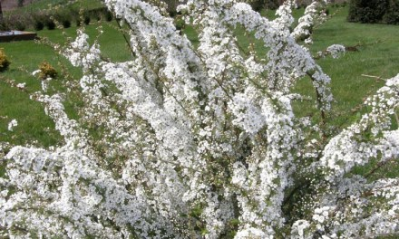 White, Spring Blooming Spirea Stems.