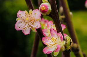 Wholesale Flowering Peach Branches