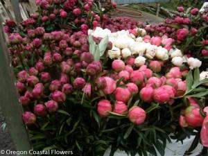 Wholesale Pink Peonies
