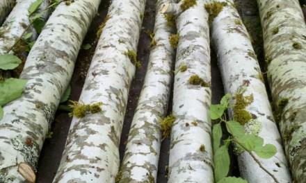 Birch Poles 3.23.17