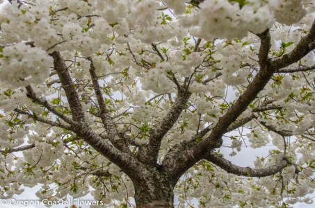 Blooming White Cherry Branches