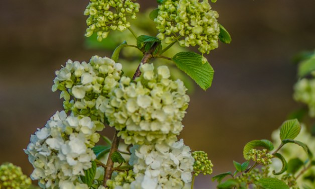 Easter Flowering Branches White Cherry Branches