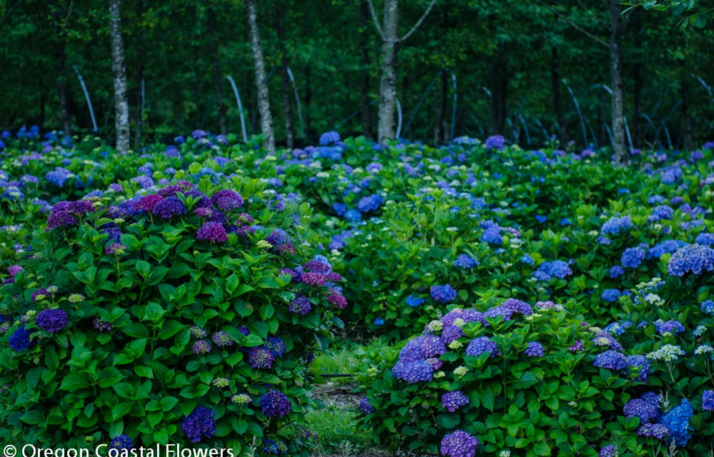 Big Blue, Purple, & Lavender Hydrangea