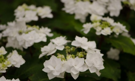 6.20.19 White Lacecap Hydrangeas, beautiful white hydrangea flowers.