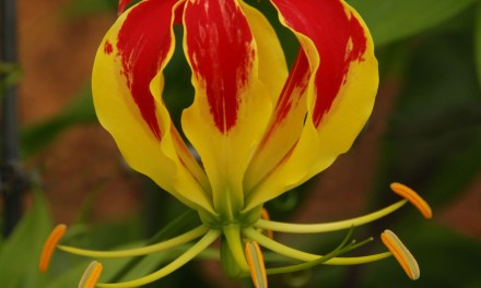 Gloriosa Lily Flowers on the Vine for Designers