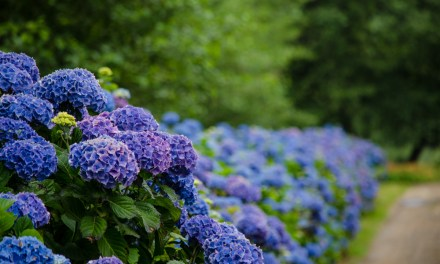 Fresh purple, blue, and lavender wedding hydrangeas