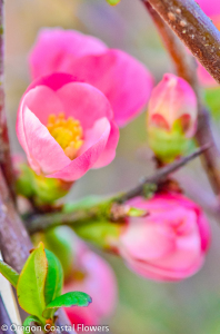 Blooming Quince Branches