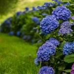 Fresh Hydrangea Wedding Flowers