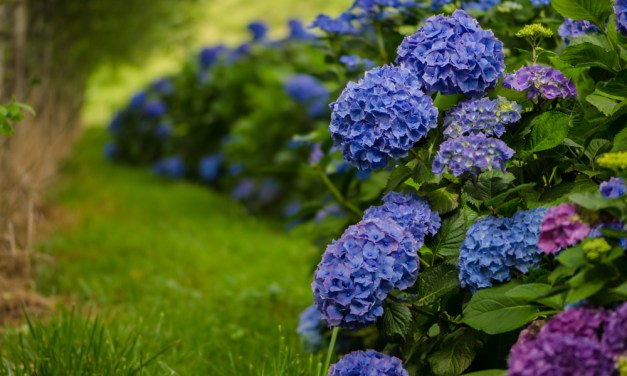 Blue Hydrangeas Wedding Flowers