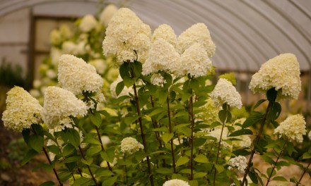 Ivory Cone Shaped Pee Gee Hydrangeas