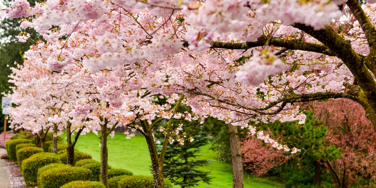 Pink cherry blossoms flowering branches 22317 oregon coastal flowers pink cherry blossoms flowering branches 22317 mightylinksfo