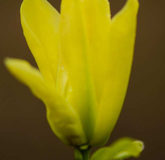 Yellow Tulip Magnolia Flowering Branches 4.17.17