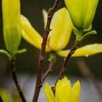 Yellow Japanese Magnolia Branches