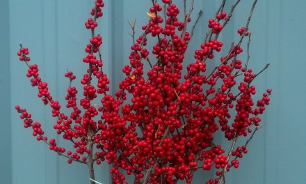 Premium Oregon Grown Ilex