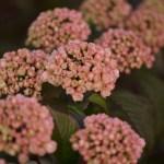Spring Blooming Pink Snowball Viburnum