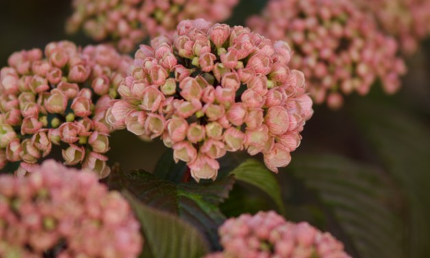Pink Snowball Viburnum Mary Milton 5.08.17