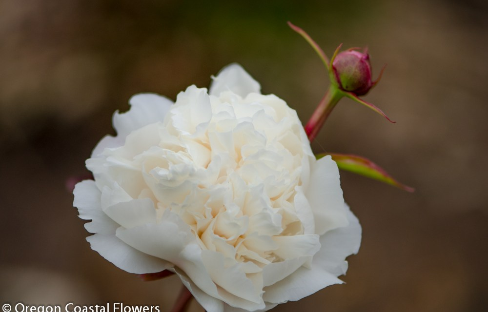 Wedding white peony flowers oregon coastal flowers wedding white peony flowers mightylinksfo