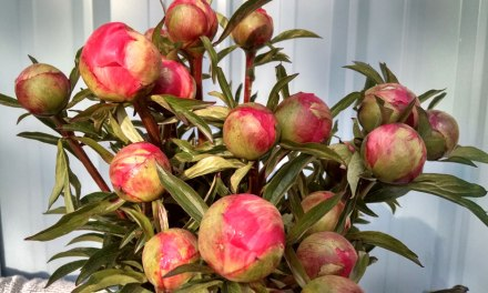 Coral Charm Peonies shipping prior to Mother's Day