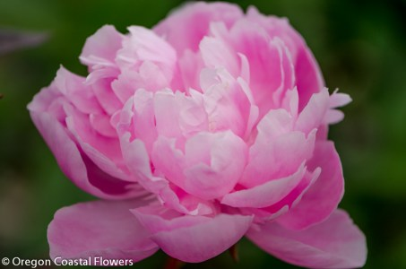 Double Blooming Wholesale Pink Peony