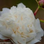 Locally Grown White Peonies