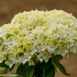 Immature White Hydrangea Bloom
