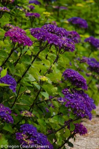 Purple Oregon Pride Hydrangea