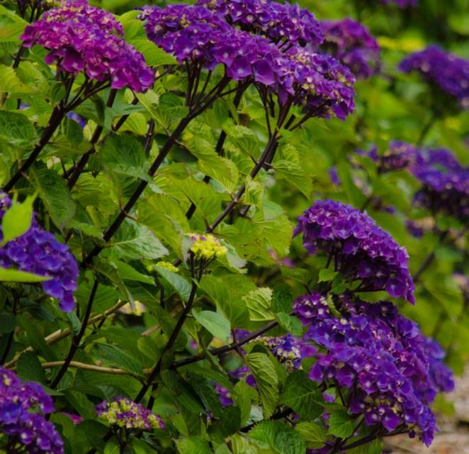 Oregon Pride Hydrangeas