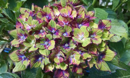 Green Pistachio Hydrangeas
