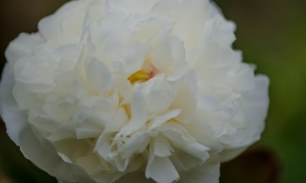 American-Grown White Peonies
