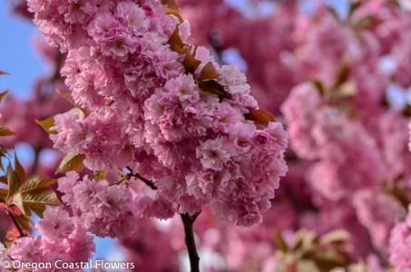 Abundant Pink Cherry Blooms