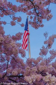 Patriotic Pink Cherry Blooms