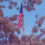Patriotic Pink Cherry Blooms