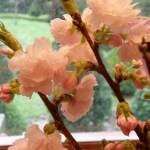 Pink Flowering Cherry