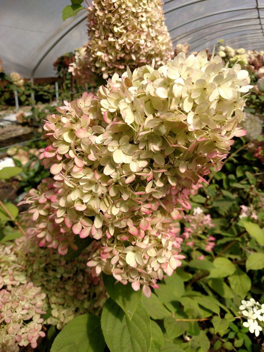 Antique limelight hydrangea oregon coastal flowers for Limelight hydrangea