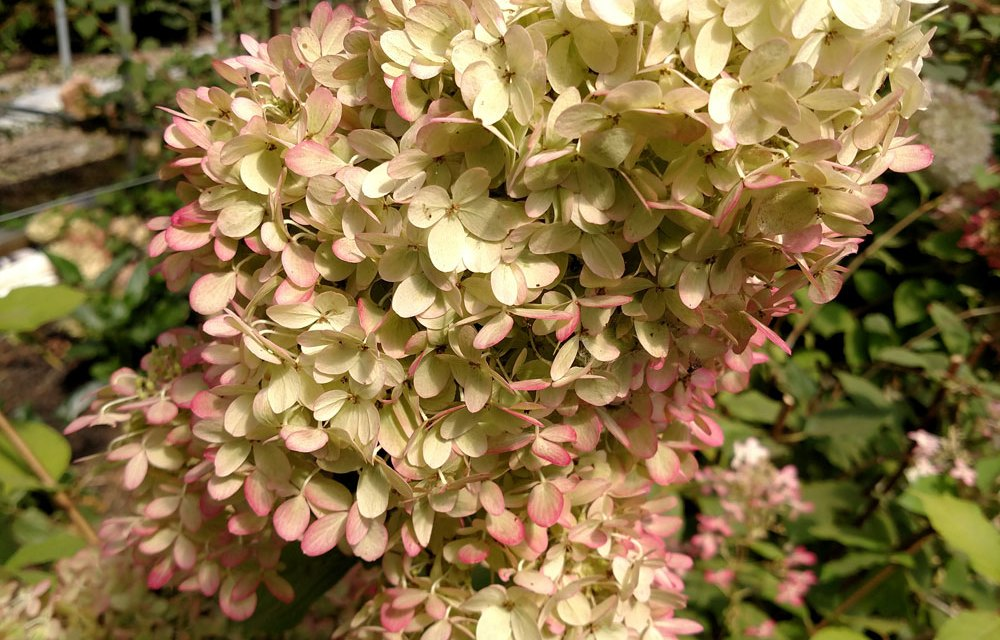 Antique Limelight Hydrangea